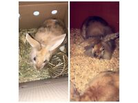2 five month old rabbits and hutch