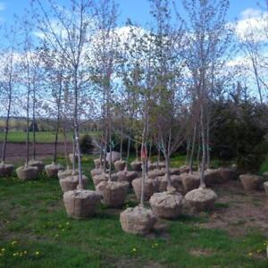 TREES, Mature Trees for Sale (Red Maple, Sugar Maple, Red-Oak, White Spruce, White Pine)