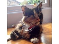 MISSING CAT IN POLLOKSHIELDS AREA