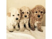Quality F1 Poochon Puppies