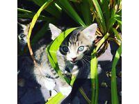 Beautiful Bengal cross kittens