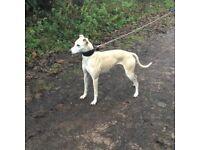 Whippet greyhound X collie bull greyhound