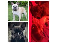 Fawn and Black Brindle French Bulldog Puppies for Sale.
