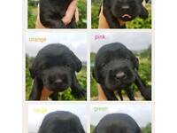 Labradoodle puppys for sale