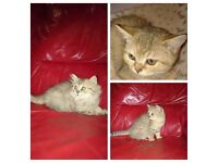 Lovely pedigree kittens for sale