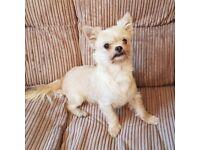 "Chihuahua X Maltese Terrier (""Chimalt"") Boy"
