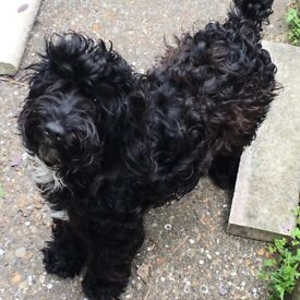 11 month old black/white cockerpoo pup for sale