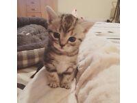 British Shorthair Silver Tabby Kitten