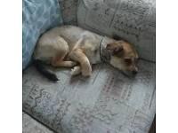 Chihuahua cross lataratsu