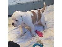 Last little girl. American bulldog puppy