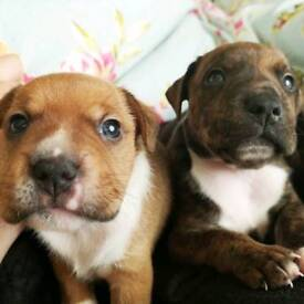 Jack Russell X Staffordshire Bull Terriers