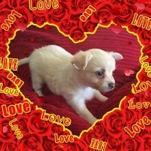 Beautiful chihuahua puppies Calliope Gladstone Surrounds Preview
