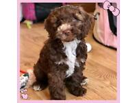 Cockapoo F2 puppy. From PRA clear parents