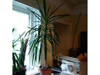 large and beautiful Yucca plant in a pot can deliver (two available)
