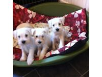 Miniature Schnauzer Puppies For Sale..ready now