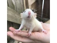 Baby rats looking for homes
