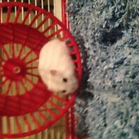 White Hamster, Year Old Comes with Everything You will Need