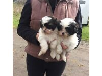Shih Tsu Puppies
