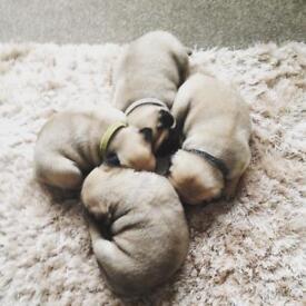 Beautiful KC Registered Pug pup