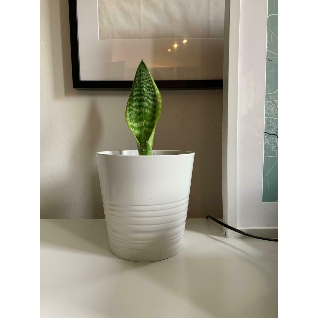 Snake Plant In Kelvinbridge Glasgow Gumtree