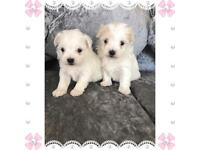 Stunning Tiny Maltese puppy's for sale