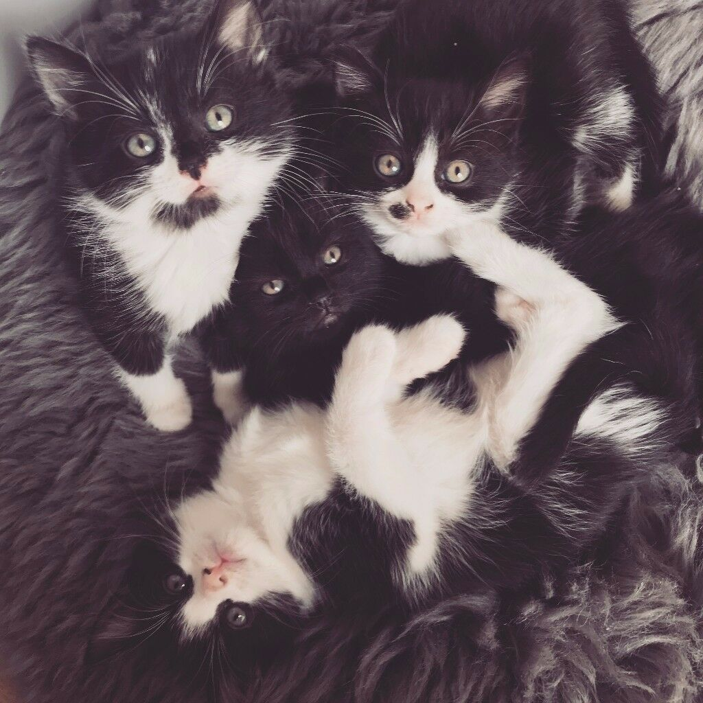 Arrange a Viewing Now Four Black & White Kittens for Sale to a