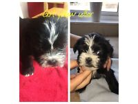 Shihtzu/Lhasa Apso puppies for sale