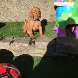 Hungarian vysla male pup