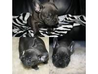 Blue & black French bulldogs puppies