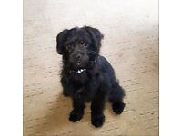 6 month pugapoo for sale. £375 ono