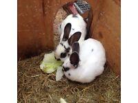 Free Male & Famale Rabbit
