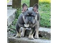 *Reduced* French Bulldog, 10 months old quad carrier