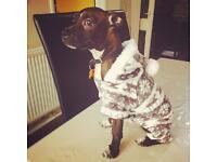 Boston Terrier x Staffordshire cross