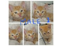 beautiful cute Ginger kittens for sale
