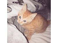 Rare ginger kitten for sale