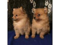 Pomeranian puppies ready now