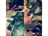 7 beautiful staffy puppies for sale