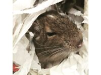 Two lovely degus for sale to good home with cage