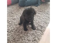 Cockercairn Puppy for Sale