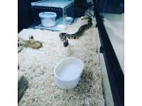 Python snake male juts snake