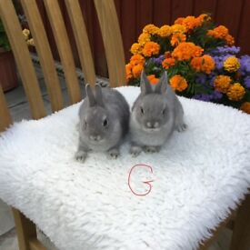 pure bred netherland dwarf baby rabbits