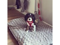 Caveliar king Charles Puppy for sale.
