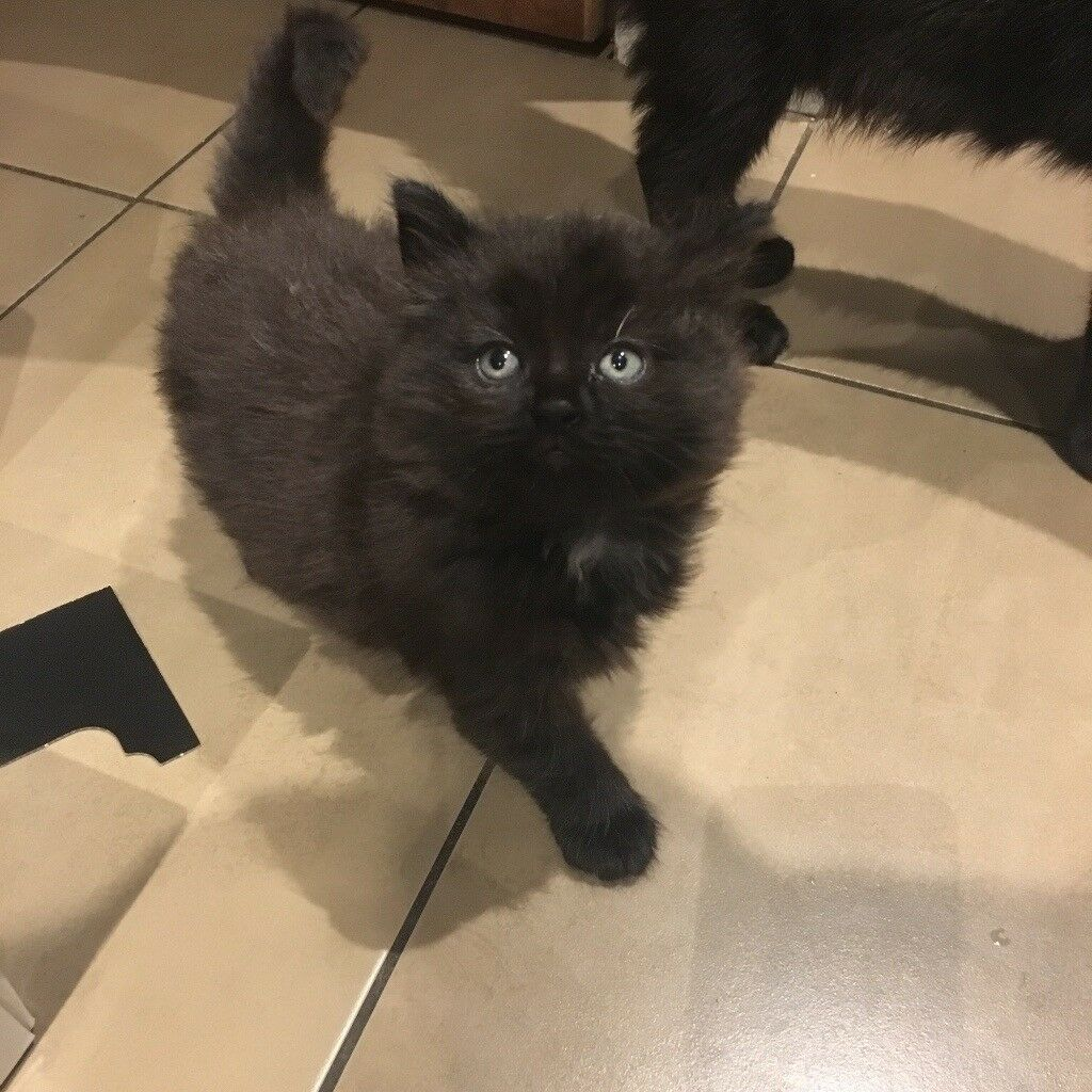 Adorable Russian Blue kittens for sale.