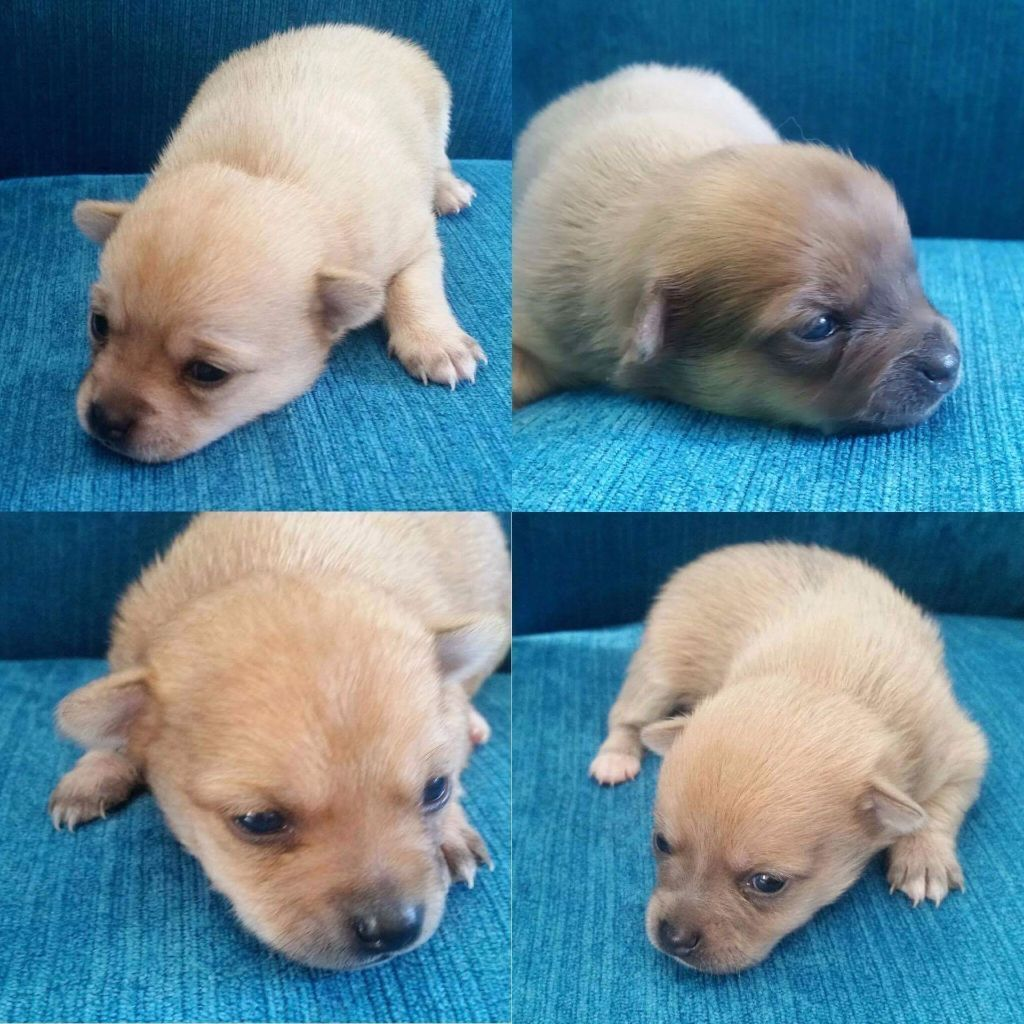 Gumtree Chihuahua Dogs For Sale