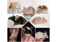Fancy pet & show type mice mouse