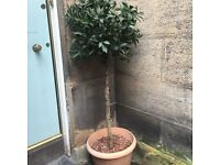 Large Artificial Bay Trees x2