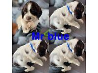 2 males left cocker spaniel puppies for sale