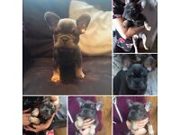 frenchbulldog pups for sale male lilac and tan and female blue and tan..atat no pied kc registered