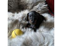 Miniature Dachshunds ready for new home end October 2020