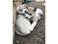 3 Siberian husky's ready to go
